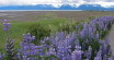 Lupine in Homer
