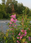 Early  Blooms of Fireweed Near Eagle River